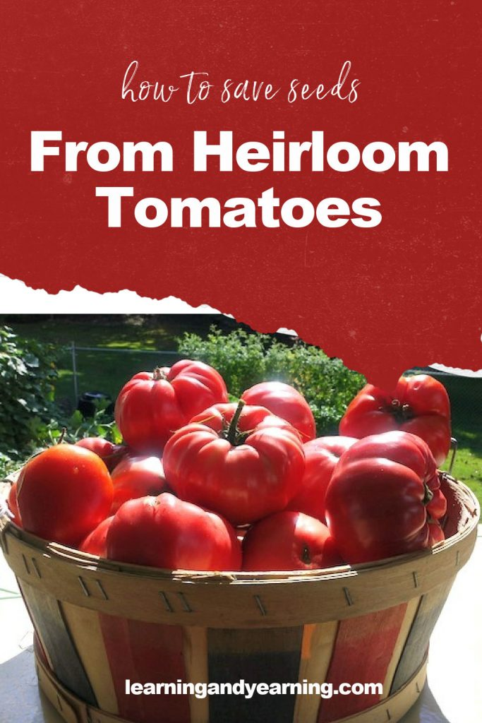 How to save seed from heirloom tomatoes!