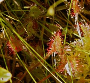 Sundew - another carnivorous plant found in bogs.