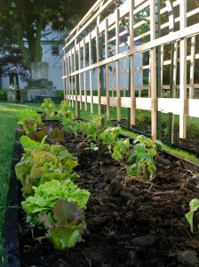 Newly planted tomato plants (with lettuce in front)