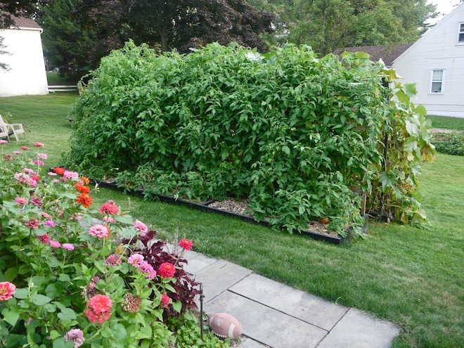 8' tall tomato plants covering the trellis