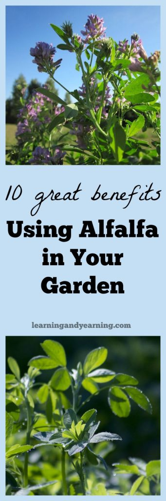 Take your gardening to a new level with alfalfa. Here are 10 great benefits of using alfalfa in your garden.