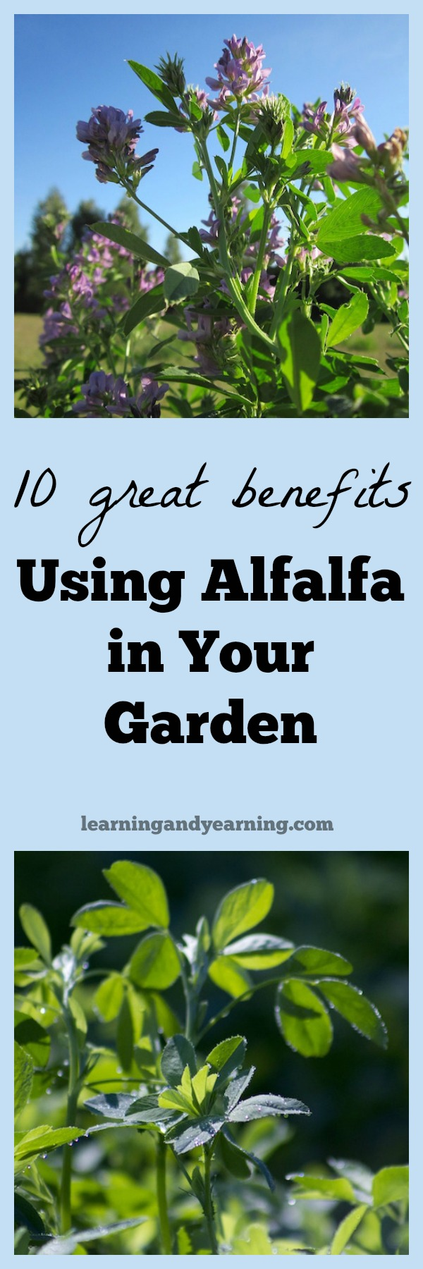 Take Your Gardening To A New Level With Alfalfa Here Are 10 Great Benefits Of