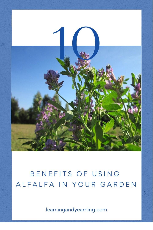 10 benefits of using alfalfa in your garden.