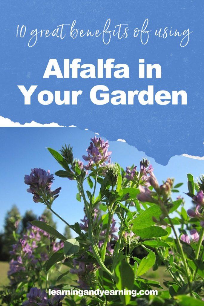 10 great benefits of using alfalfa in your garden!