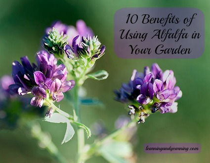 10 Benefits of Using Alfalfa in Your Garden @learningandyearning