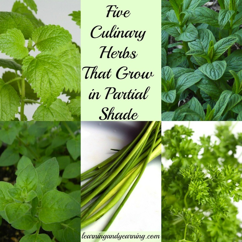 5 Culinary Herbs That Grow in Partial Shade @learningandyearning