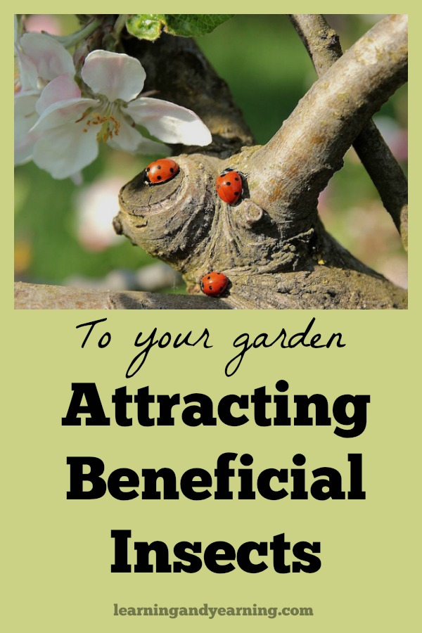 """As an organic gardener, your goal is not to eradicate all insects from your garden, but rather to create a natural environment of balance where """"good"""" insects are eating or parasitizing """"bad"""" insects to keep them under control. A great way to do this is to provide plants which attract beneficial insects to your garden."""