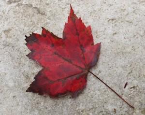 Fall leaves: a valuable soil builder
