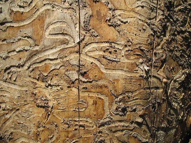 emerald ash borer damage