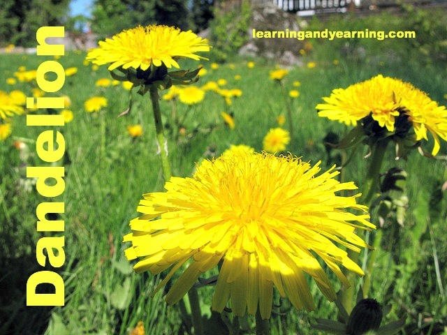 Dandelions: Foraging Them, Eating Them, and Keeping Them Out of Your Lawn