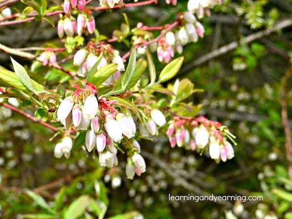 Wild Blueberry Blossoms