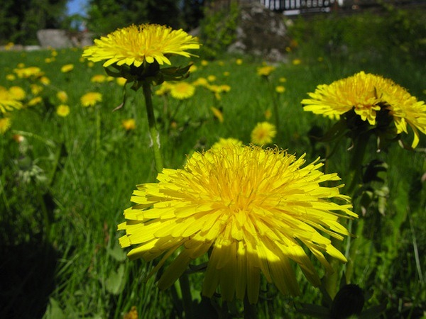 dandelion flowers for dandelion oil lotion bars