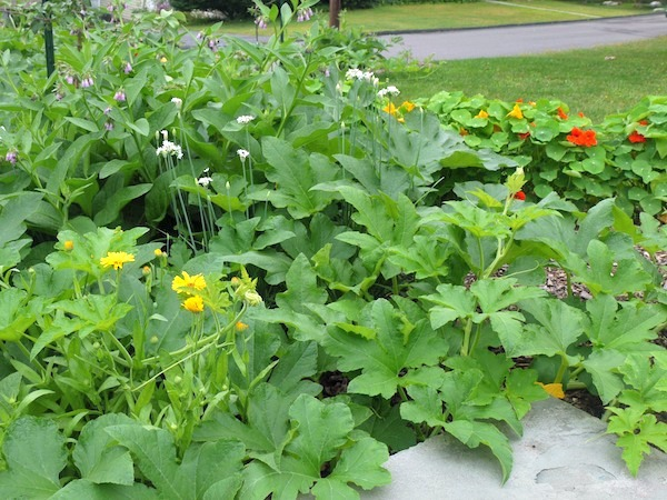Some of the healing plants in my garden - calendula, comfrey and nasturtium growing in with my acorn squash.