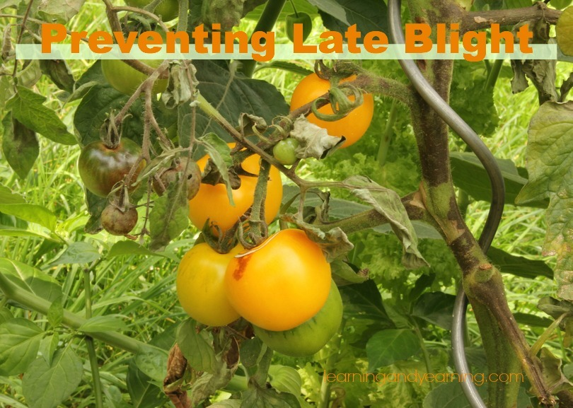 Organic prevention of late blight in tomatoes