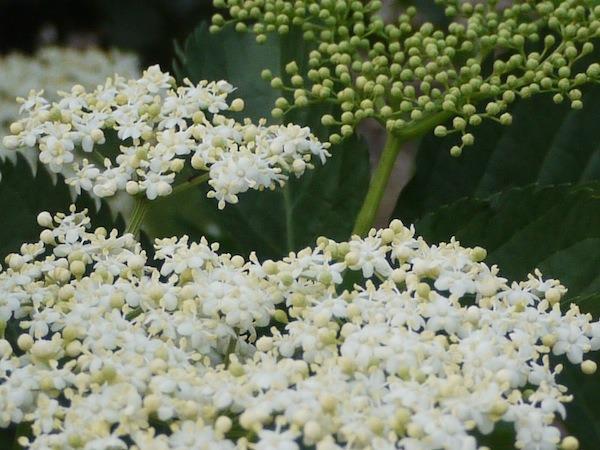 Elderflower- In the garden