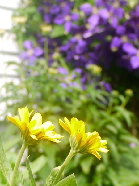 Calendula and Clematis - In the garden