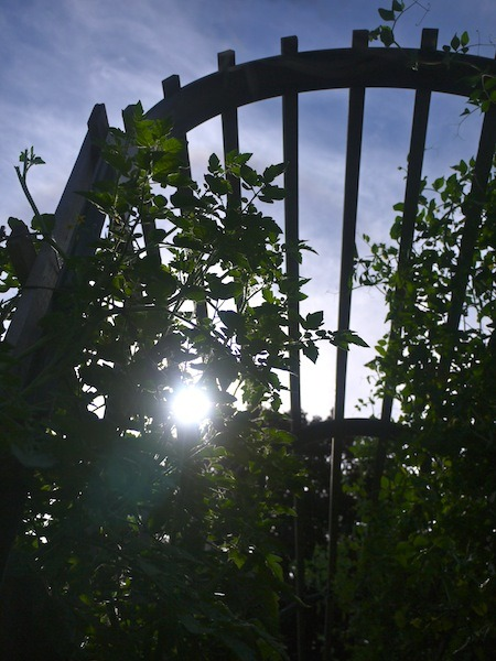 Tomatoes and Peas on the trellis - In the garden