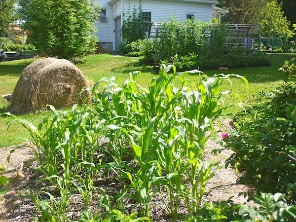 Corn - In the garden