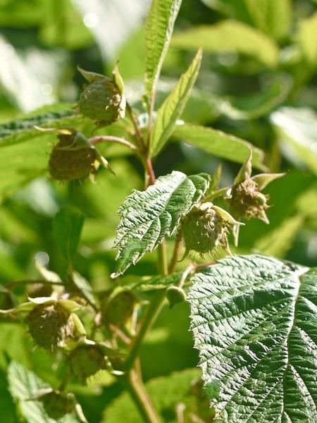 Raspberry - In the garden