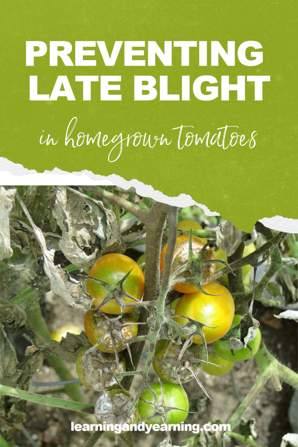Preventing late blight on your homegrown tomatoes! #organicgardening