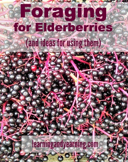 Foraging For Elderberries and ways to use them.