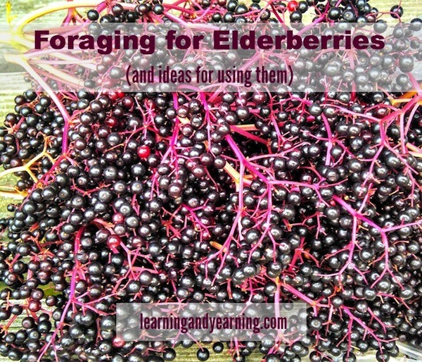 Foraging for Elderberries (and ideas for using them)