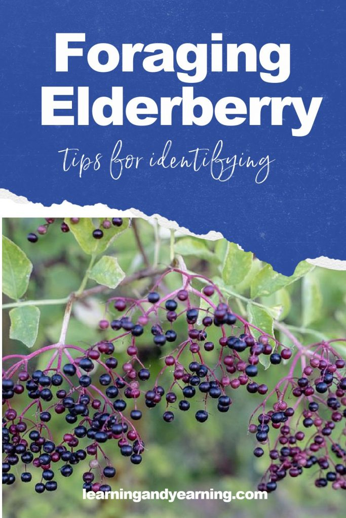 Foraging elderberry - tips for identifying elderberry and using it!