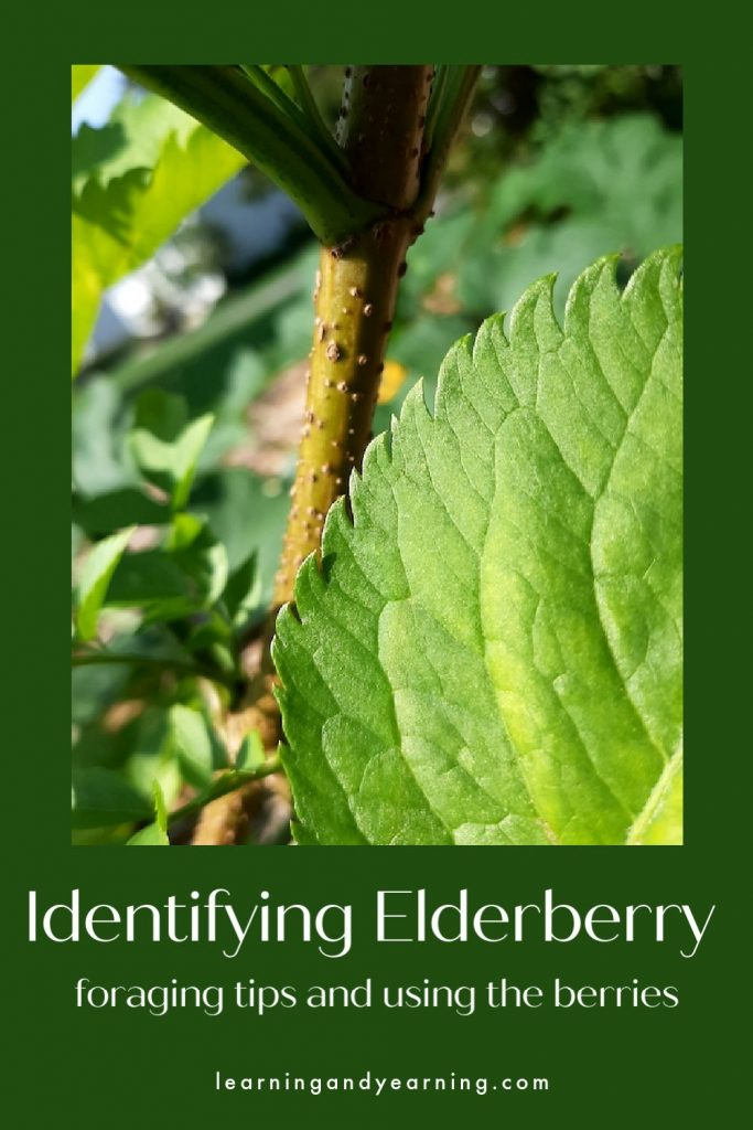 How to identify elderberry - tips for foraging elderberry and using it!