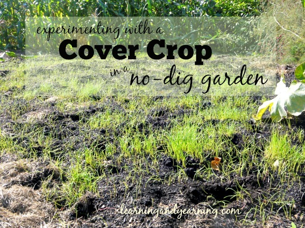 Experimenting with a Cover Crop in a No Dig Garden