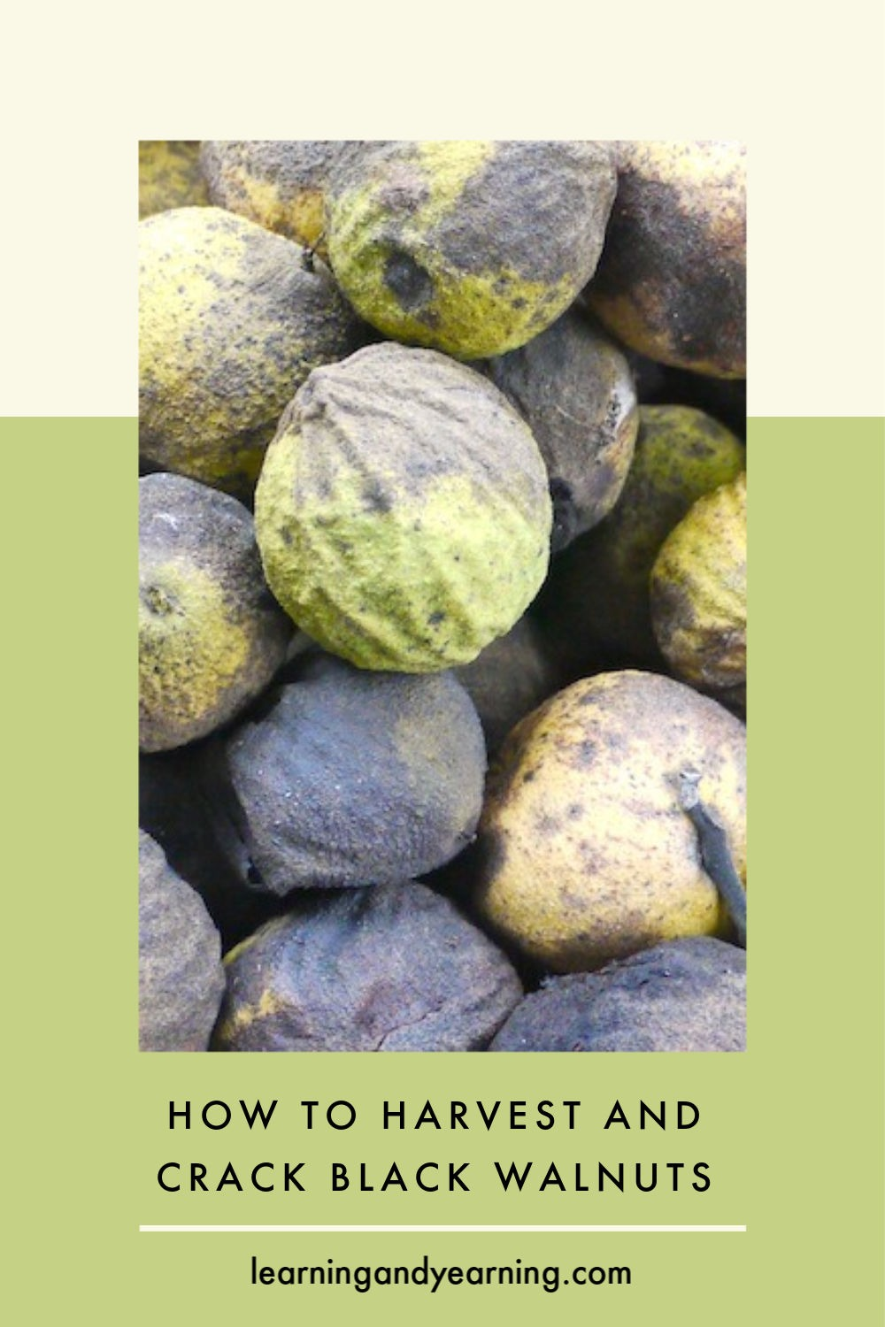 How to harvest and crack black walnuts.