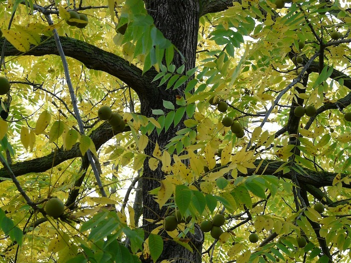 black-walnut-61599_1280