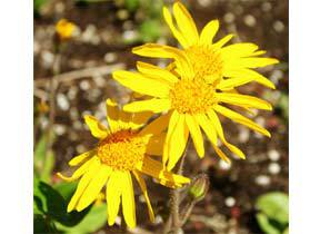 arnica_seeds-product_1x-1403643868