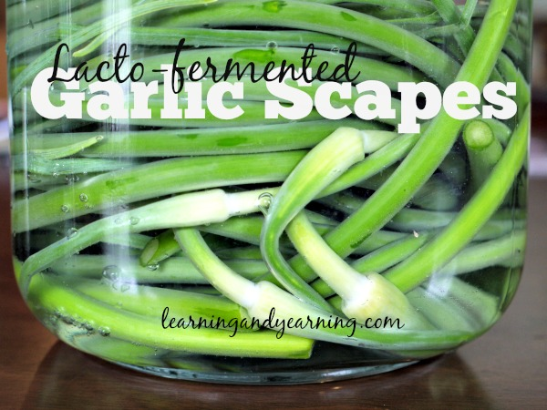 Fermenting scapes preserves them for later use, and adds probiotics to your diet. The fermented garlic scapes may used in any way that you would use them raw.