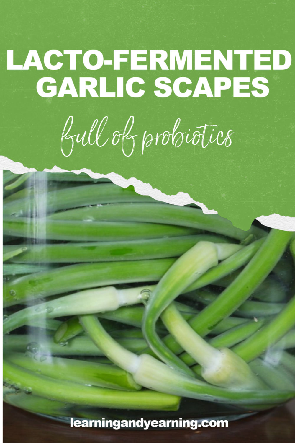Lacto-fermented garlic scapes - a great way to preserve the scapes and add probiotics to your diet.