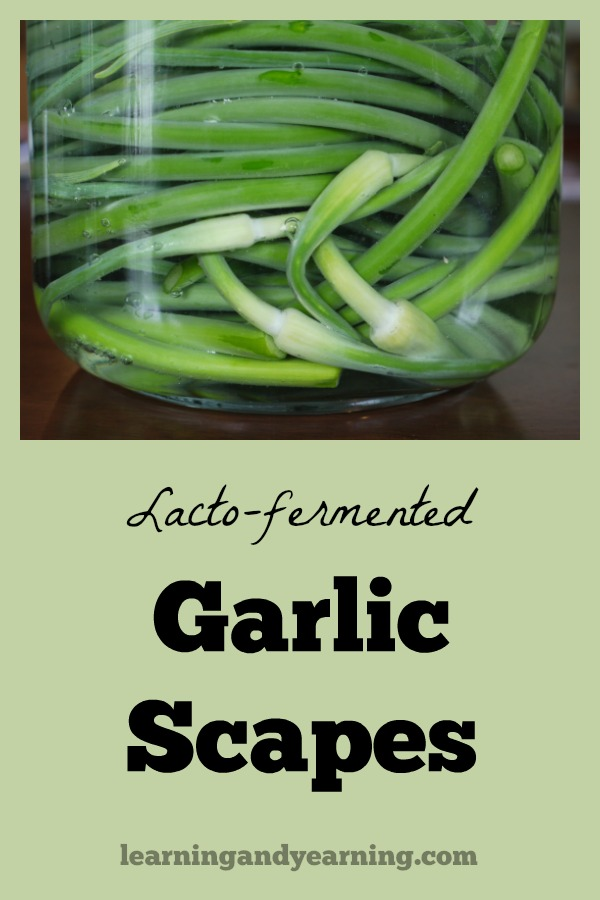 Fermenting scapes preserves them for later use, and adds probiotics to your diet. The fermented garlic scapes may used in any way that you use them raw.