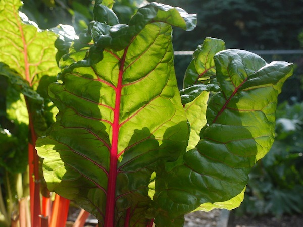 swiss chard for dehydrating to be dehydrated
