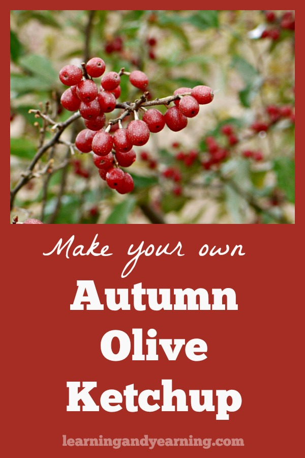 If you live in the eastern United States, it's likely that autumn olive grows in your area. The puree is perfect for making a tasty autumn olive ketchup!