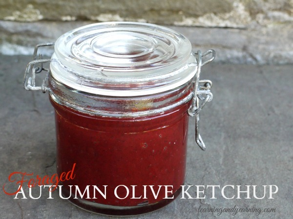 If you live in the eastern half of the United States it's likely that autumn olive grows in your area. It's so easy to forage and the puree is perfect for making a tasty autumn olive ketchup!