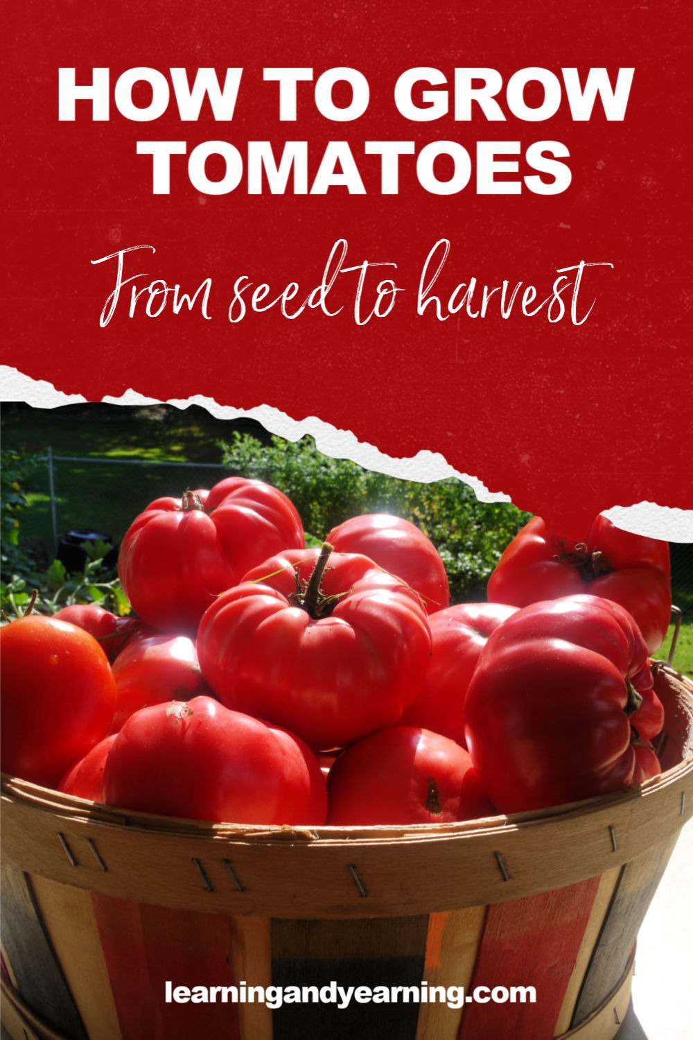 How to grow tomatoes, from seed to harvest!