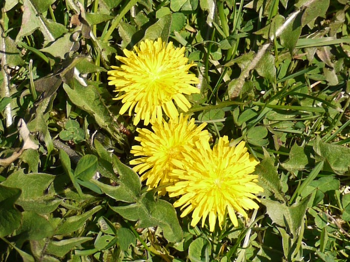 It's dandelion season! Most people disparage dandelion in their lawn, but there are a number of us who celebrate it. The flowers, leaves and roots are all edible, and perfect for Dandelion Flower Fritters and other wonderful treats.