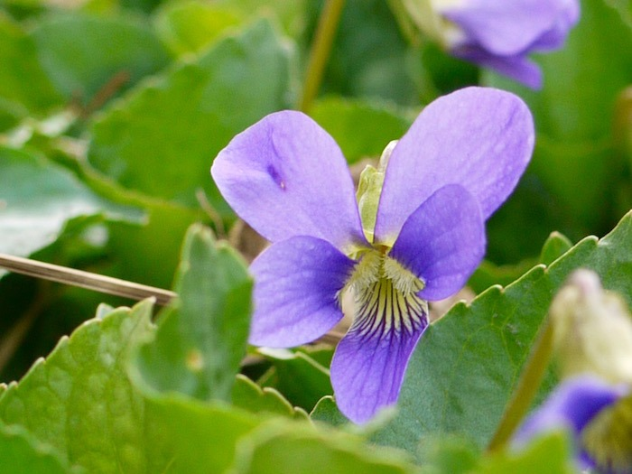 violet edible flower