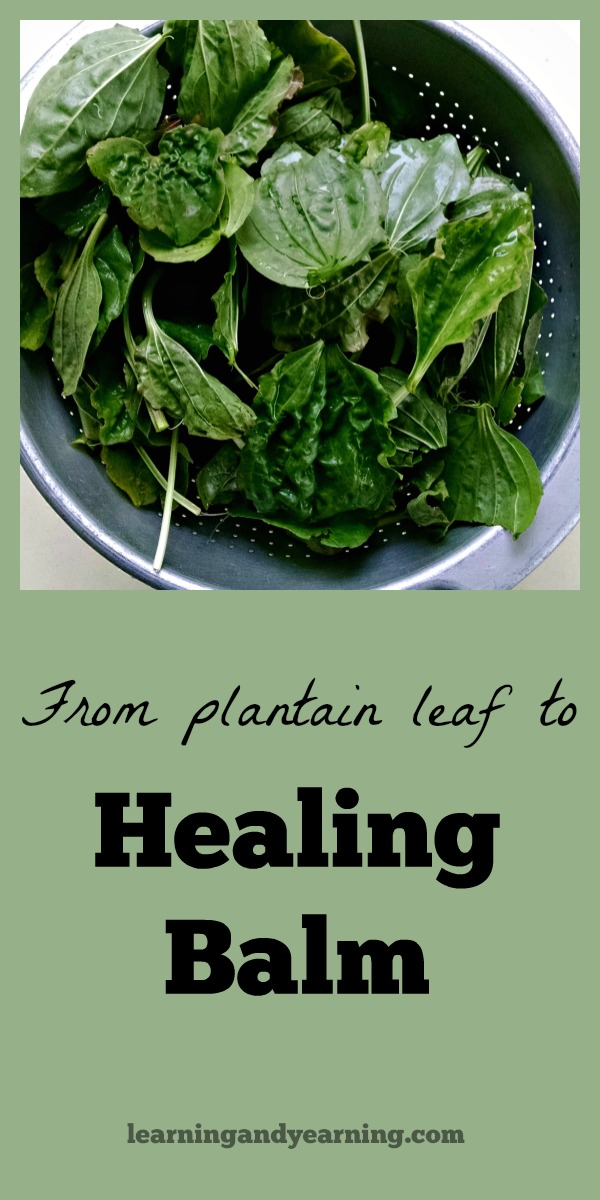 Learn to make a plantain leaf healing balm for insect bites, poison ivy, burns, cuts and more. There are so many plantain leaf uses, and this plantain salve is the best!