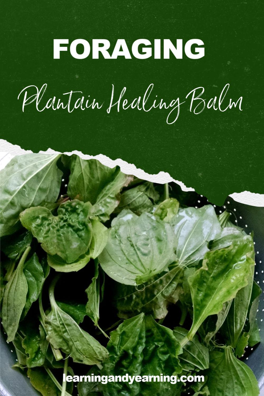 Plantain leaf healing balm!