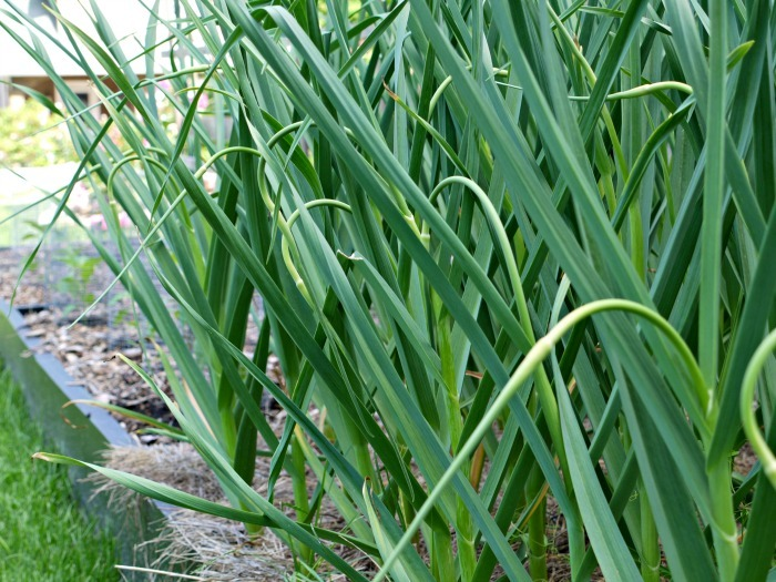 Are you growing hardneck garlic? Use the scapes to make a delicious scape infused olive oil. It's great in dressings, for dipping, and more!