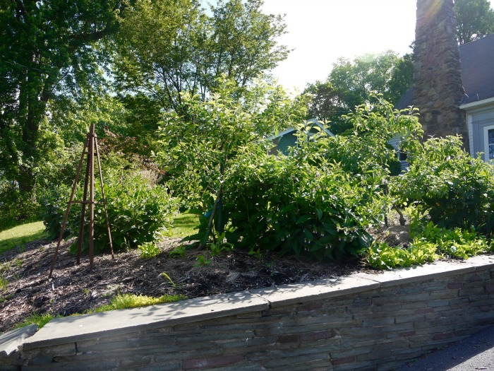 apple trees and comfrey
