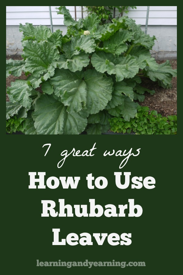The level of oxalic acid is so high in rhubarb leaves that they are poisonous and cannot be eaten. But that doesn't mean that they need to be tossed in the trash. Here are 7 great ways to use them! #gardening #rhubarb