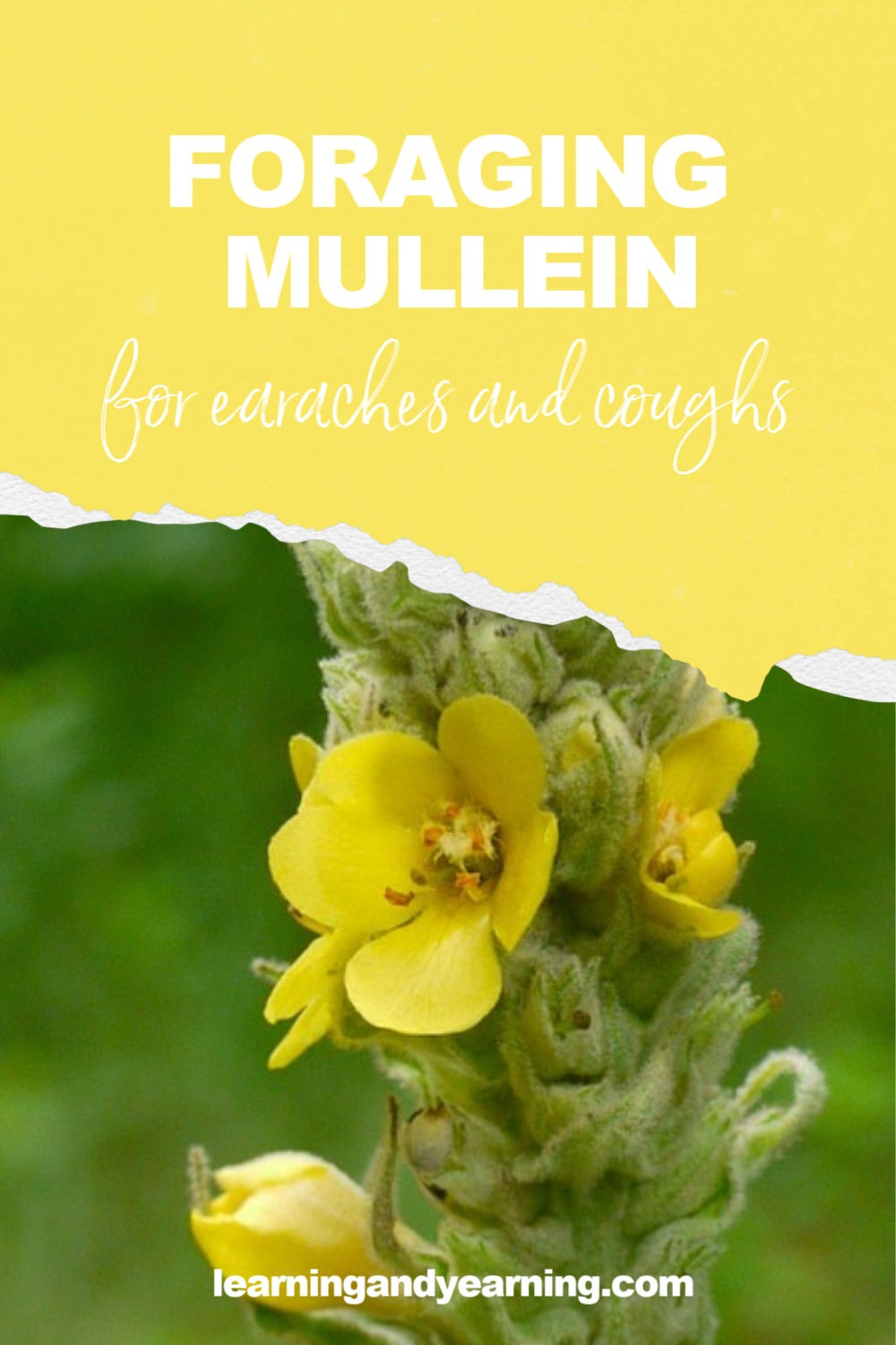 Foraging mullein for earaches and coughs!