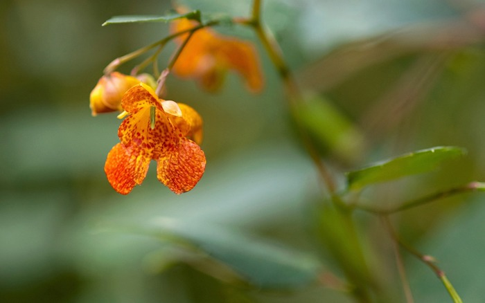 jewelweed poison ivy treatment