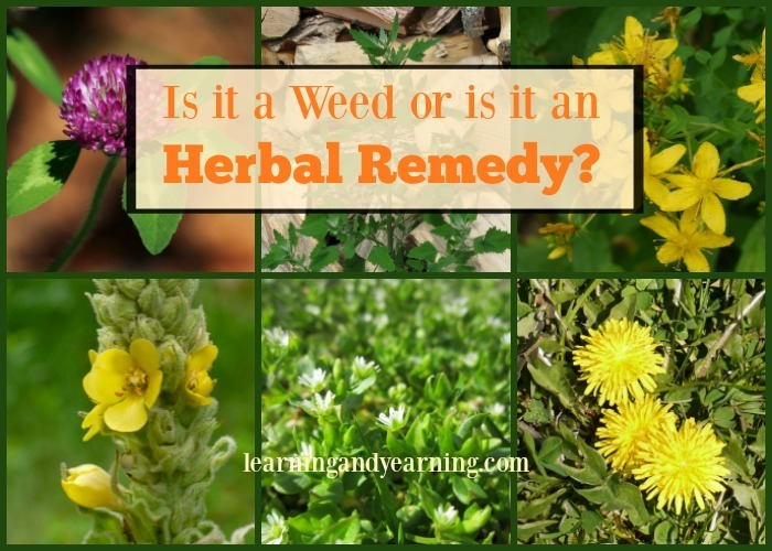 One of the benefits of using medicinal weeds from your own backyard is that you know how they are grown and that they are fresh.