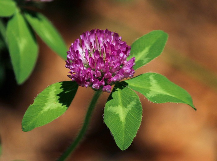 red clover edible flower medicinal flower
